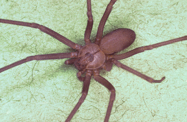 brown recluse spider bite is one of the most feared spider bites in    Brown Recluse Spider Bites
