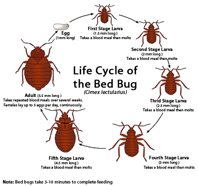Bed Bug Bites Signs Symptoms And Treatment